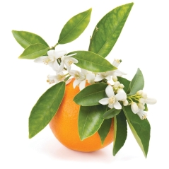 Petitgrain-surFleur-Citrus-aurantium-var-amara-ProductPic