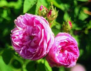 Provence_Rose