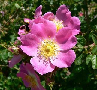 rosa eglanteria mosqueta