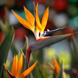 Strelitzia-reginae-500x500